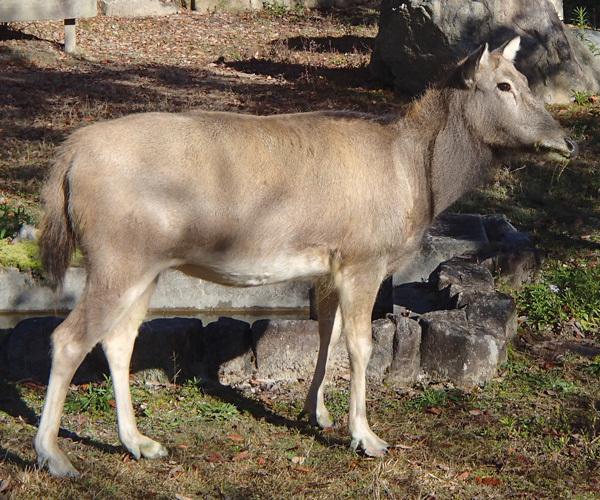 シフゾウ / Pere David's Deer|動物紹介|安佐動物公園 asazoo (146633)