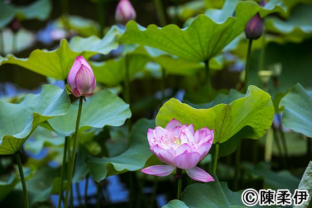 日本統治時代に作られた台北市植物園で可憐に咲く蓮の花。毎年初夏に見ごろを迎える