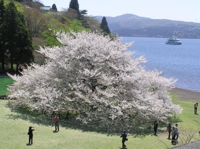 樹齢100年の湖畔の一本桜