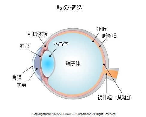 外眼筋とは眼球を支え、眼を動かす際に使う筋肉です。今回の研究結果ではアントシアニンが外眼筋に移行することが示唆されました。