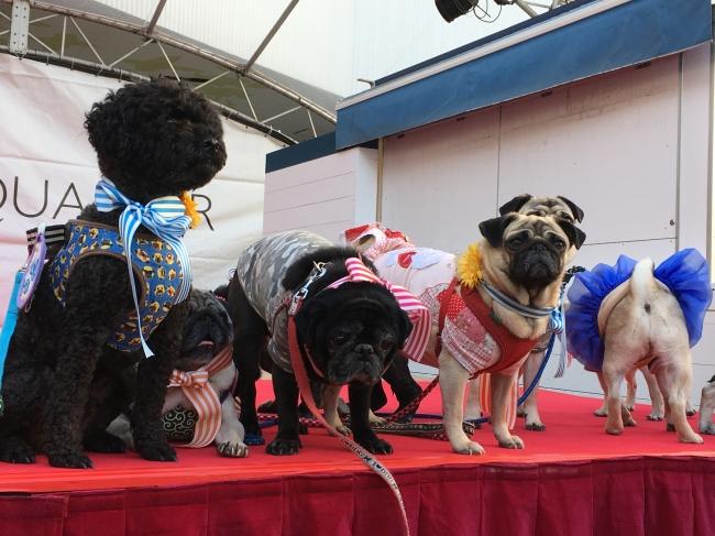 約50頭の「鼻ぺちゃ犬」が集結した「鼻ぺちゃ犬のフラワーマーチ」