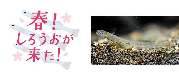 春を告げる魚「しろうお」