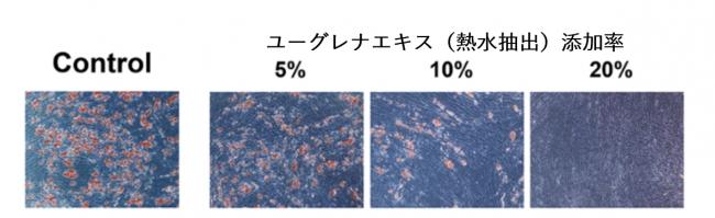 図2:ユーグレナエキス(熱水抽出)の添加の有無によるヒト脂肪細胞への脂肪滴蓄積の比較 (染色により赤く染まっているのが脂肪滴)