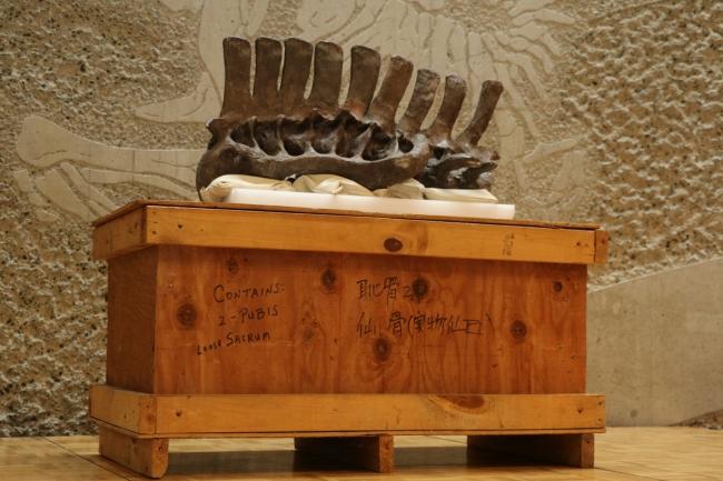 エドモントサウルスの腰骨