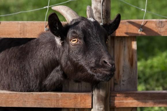 goat2_e