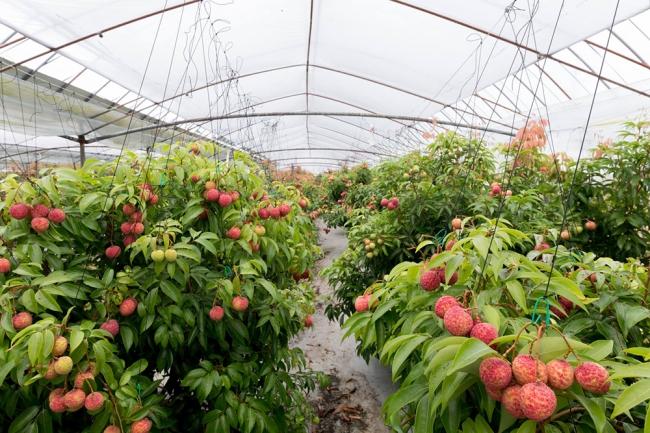 新富町のライチ農園。旅客が羽田空港にいながらライチ農園を身近に感じたり、旅への期待感をアップするような取り組みをテクノロジーを用いて実施したいと考えています。