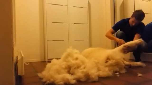groomingsamoyed4_e