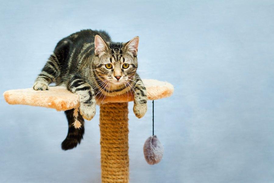 キャットタワーの上に乗る猫