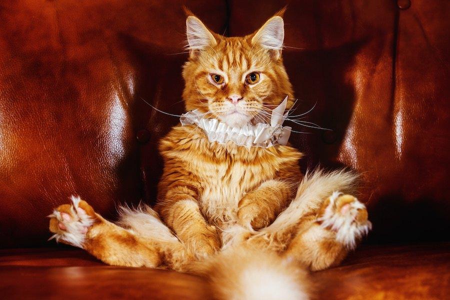 豪華なソファーに人間のように座る猫