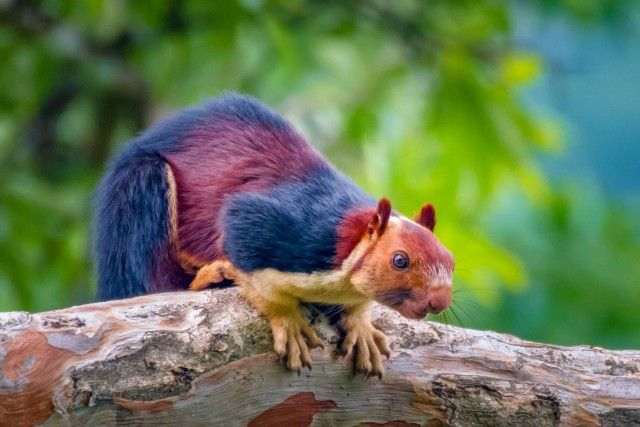 Multicoloured-squirrel1_e