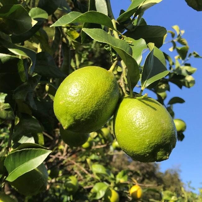 グリーンレモン