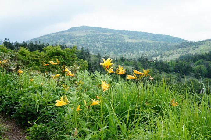 ニッコウキスゲなど高山植物の宝庫、「花の百名山」で知られる森吉山