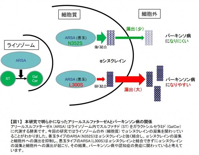【図1】 本研究で明らかになったアリールスルファターゼAとパーキンソン病の関係