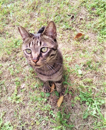 避妊手術を行った猫(耳のV字カットが目印)