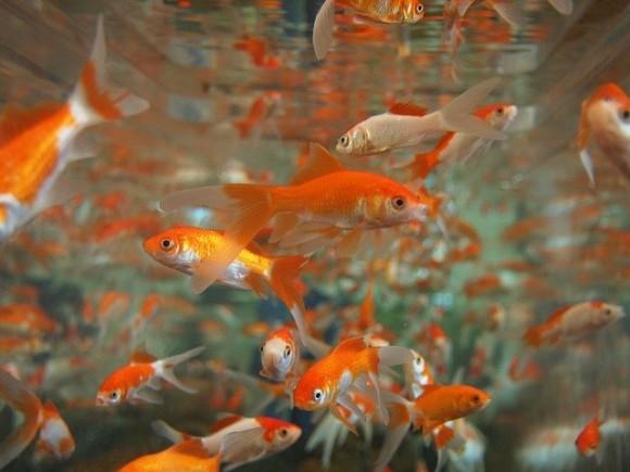 goldfish-178584_640_e