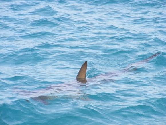 shark-fin-472685_640_e