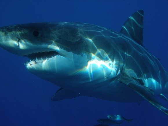 great-white-shark-398276_640_e