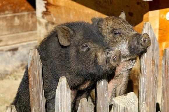 potbelly-pigs-2872531_640_e