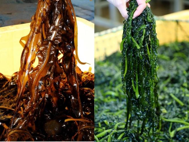 収穫したばかりのわかめ(写真左)は、ボイルすると鮮やかな緑色に変わります(写真右)
