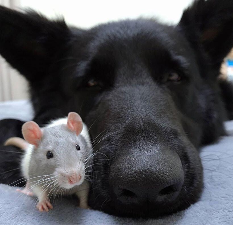 ジャーマンシェパードとネズミ