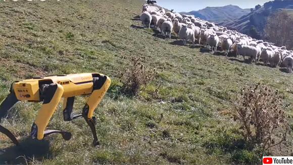 犬型ロボットスポットが牧羊犬に