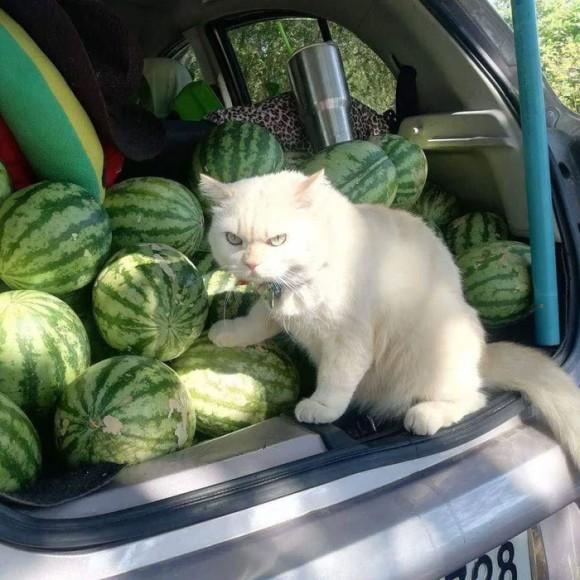 スイカ警備員猫